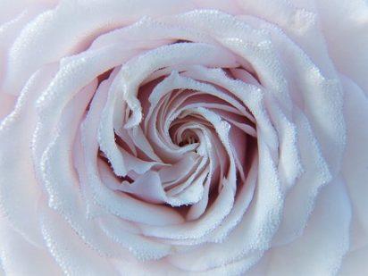 Rose spiral pixabay