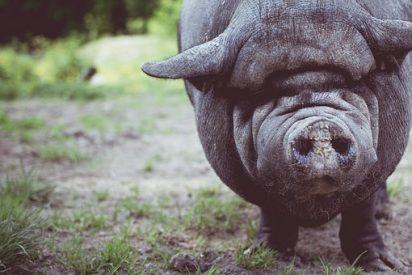 Pig pixabay