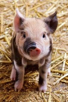 Here piggy, piggy, piggy